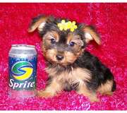Female Teacup Yorkie Puppy Available For Christmas
